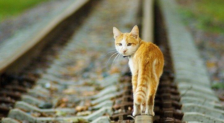 Машиніст з Голландії зупинив поїзд заради порятунку кішки