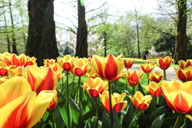 У Нідерландах одночасно розцвіли 7 мільйонів тюльпанів