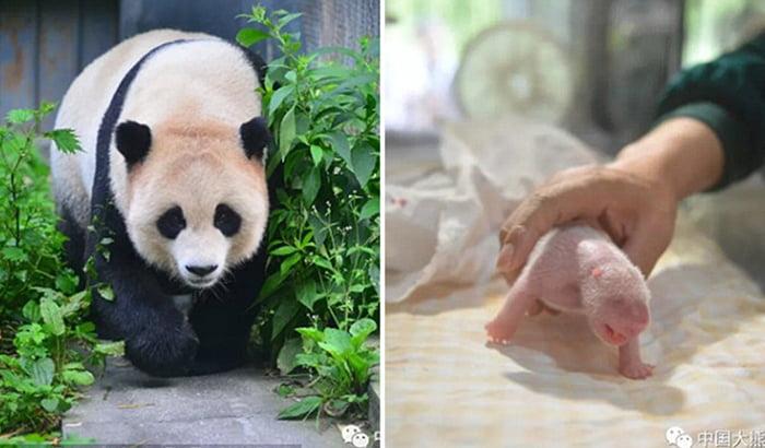 Панда Чао-Чао народила двійнят, процес народження зняли на камеру