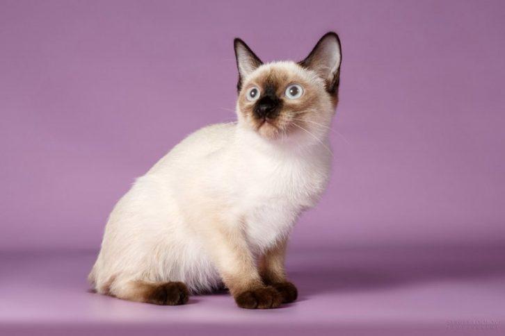 12 найменших порід кішок в світі