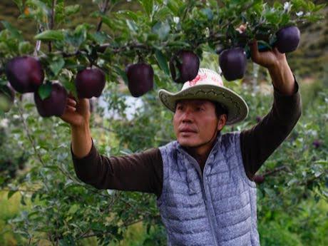 Чорні алмазні яблука продаються по $ 20 за штуку, але ніхто не хоче їх вирощувати