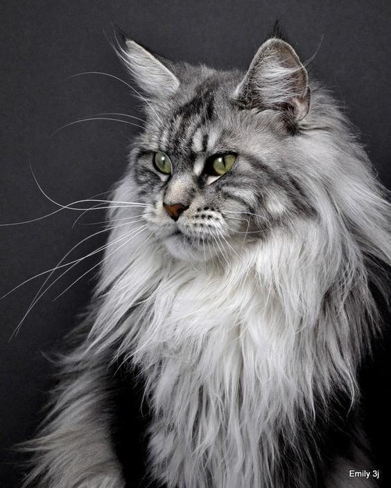 Кошенята мейн-куни неймовірно красиві. Добірка милих фото