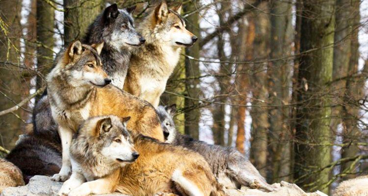 Дикі вовки врятували вагітну жінку під час бурі і стали її акушерами
