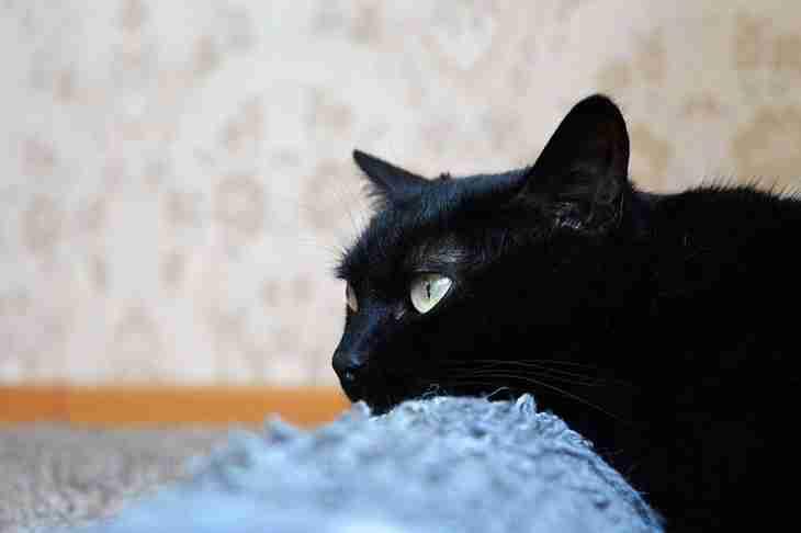 Як привчити кішку до кігтеточки: поради професіоналів